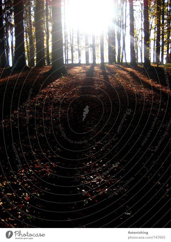 Stripes Natur Baum Sonne Blatt Wald Herbst braun Streifen Baumstamm Abenddämmerung Gegenteil Herbstlaub Waldboden Laubwald