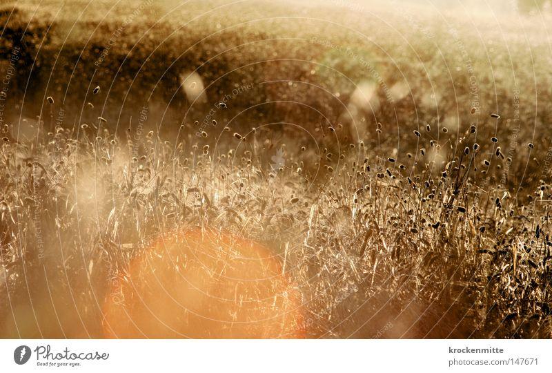Tanz in der Sonne II gelb Gras Wärme Beleuchtung orange gold Kreis rund Italien Physik Getreide Landwirtschaft Appetit & Hunger Halm Ackerbau