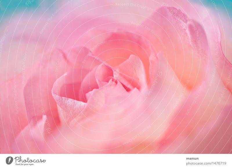 Freya Natur Pflanze schön Farbe Blume Blüte Liebe Frühling natürlich feminin rosa elegant Geburtstag ästhetisch Hochzeit Rose