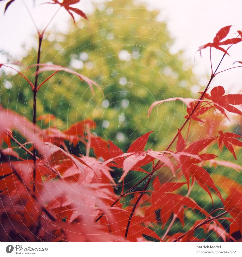 [HH08.4] Rot auf Grün Blatt Sträucher Baum Ahorn Herbst Pflanze rot grün Unschärfe Park Natur Himmel Außenaufnahme