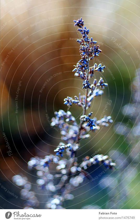 Winteranfang Natur Pflanze Eis Frost Sträucher Park Wiese entdecken Wachstum blau violett Blütenknospen Farbfoto Außenaufnahme Nahaufnahme Detailaufnahme