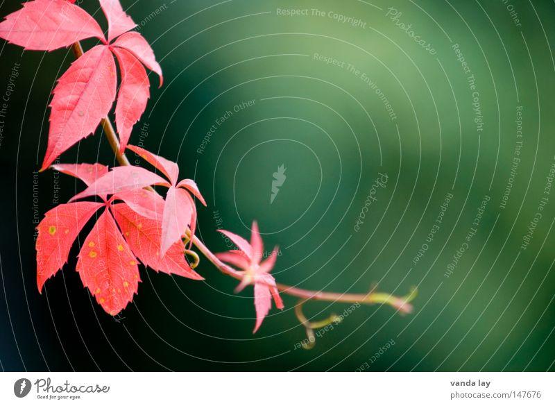 Herbst wild rot Pflanze Ranke Kletterpflanzen Weinblatt Herbstfärbung Umwelt Hintergrundbild schön zart grün fein Klettern Dornröschen Natur