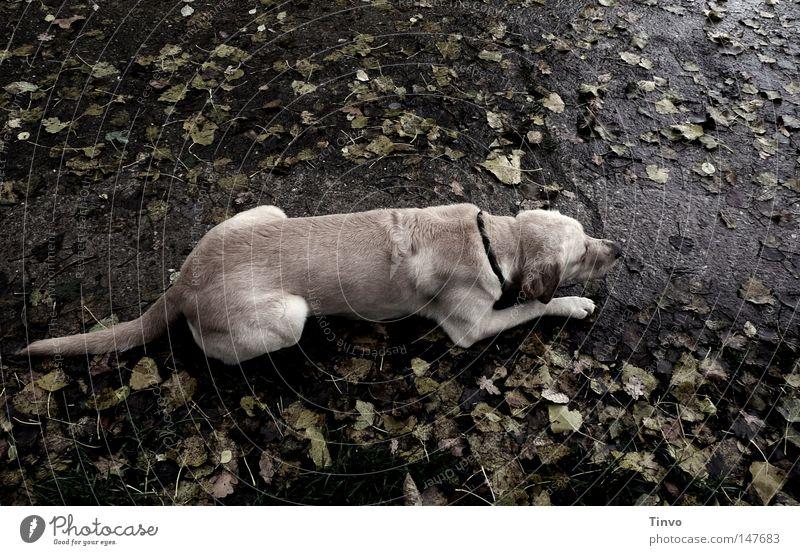Entsättigter Hund Nervosität Anspannung anthrazit Asphalt beige beobachten Blatt dunkel Fell Bürgersteig hellbraun grau Haustier Herbst kalt liegen nass Pfote