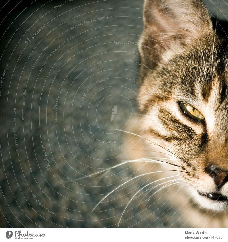 Kraul mich, Frauchen! Katze Auge klein Nase Fell Tiergesicht nah Haustier Säugetier Blick kuschlig Hauskatze Schnauze Katzenbaby Schnurrhaar Liebling
