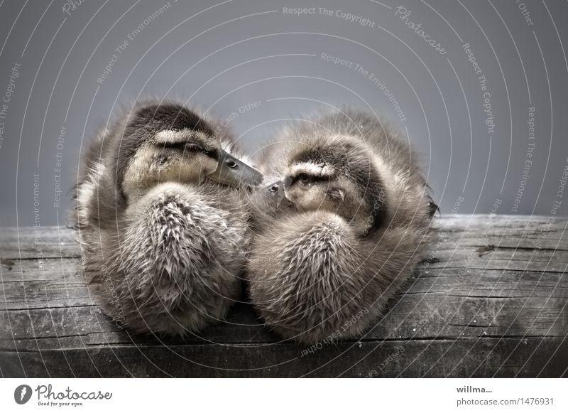 ent|bindung Tier Zusammensein sitzen niedlich weich Kuscheln Entenvögel Balken Entenküken