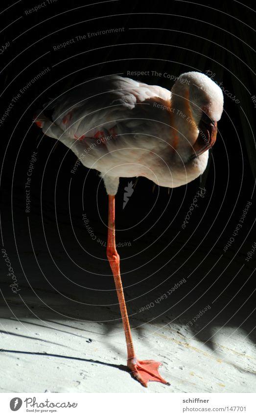 KAPUT Einbein-Flamingo Vogel rosa Licht Schatten Zoo Schnabel ruhig Frieden Pause Feder Tier kaputt issa nich nur einbeinig einbeinig halt Pfosten friedlich