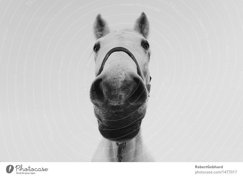 Stallportrait Freizeit & Hobby Tier Haustier Nutztier Pferd Tiergesicht Zoo 1 atmen Fressen Lächeln Blick stehen kuschlig nah Neugier Freude Zufriedenheit
