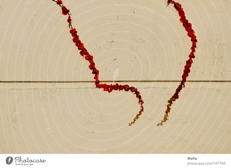 parallel or not parallel rot Blatt Wand Herbst Mauer Linie 2 Wachstum Ast Punkt Wein parallel Ranke biegen Symbole & Metaphern
