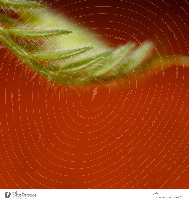 neo filo grün Pflanze rot Blatt klein fein filigran Härchen