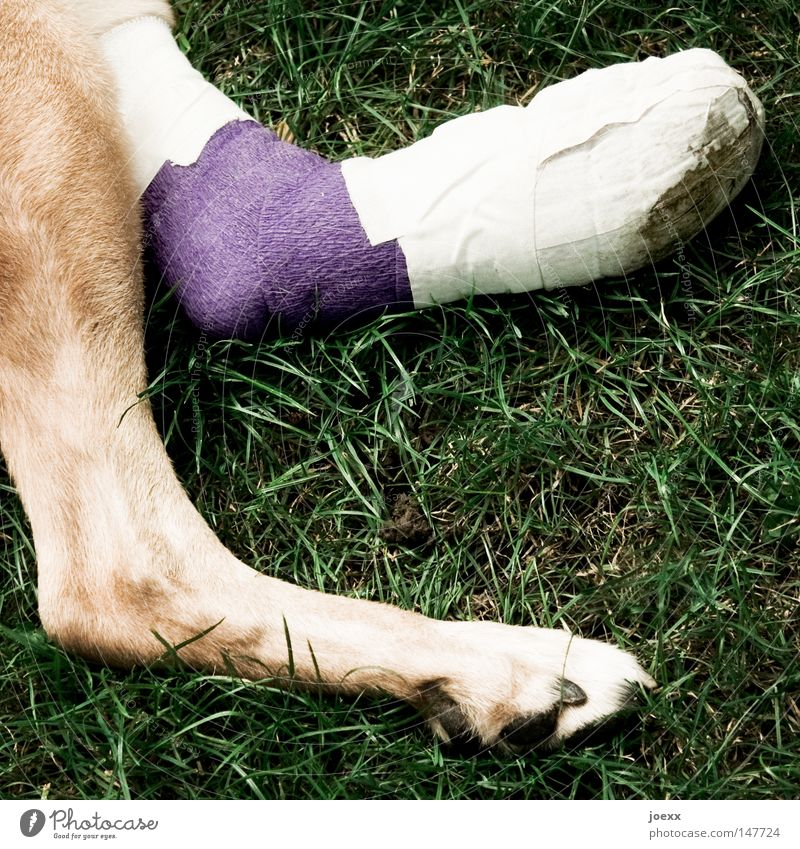 Gizmo Hund grün Tier Erholung Wiese Gras Beine braun Gesundheit liegen violett Schmerz Pfote Unfall Rettung