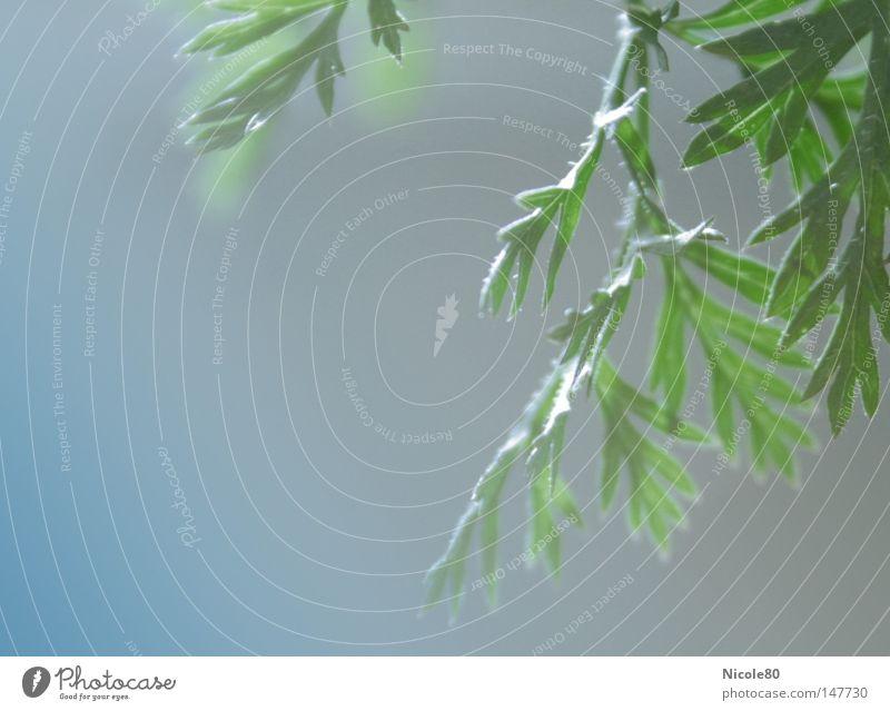 Möhre mal anders grün Kräuter & Gewürze Gegenlicht zart leicht Gesundheit Makroaufnahme Nahaufnahme Möhrenkraut