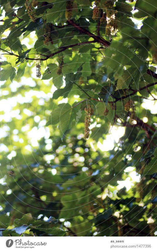 Blätterdach Wellness Leben harmonisch Sinnesorgane Erholung ruhig Freizeit & Hobby Sommer Sonne Garten Umwelt Natur Schönes Wetter Baum Blatt Blüte Ahorn