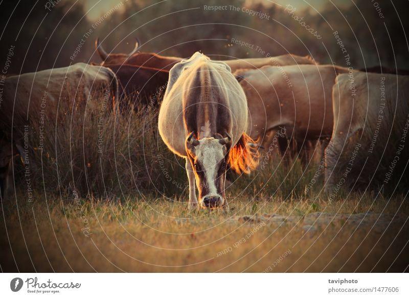 Kühe Herde im orange Abendlicht schön Sommer Menschengruppe Natur Landschaft Tier Wärme Gras Wiese Kuh Fressen stark wild Bauernhof Großgrundbesitz heimisch