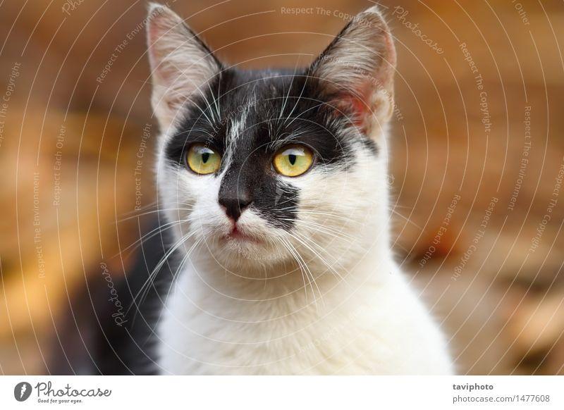 süße gesprenkelte Katze Frau schön weiß Tier schwarz Gesicht Erwachsene natürlich Behaarung niedlich Haustier reizvoll Säugetier gestreift seltsam