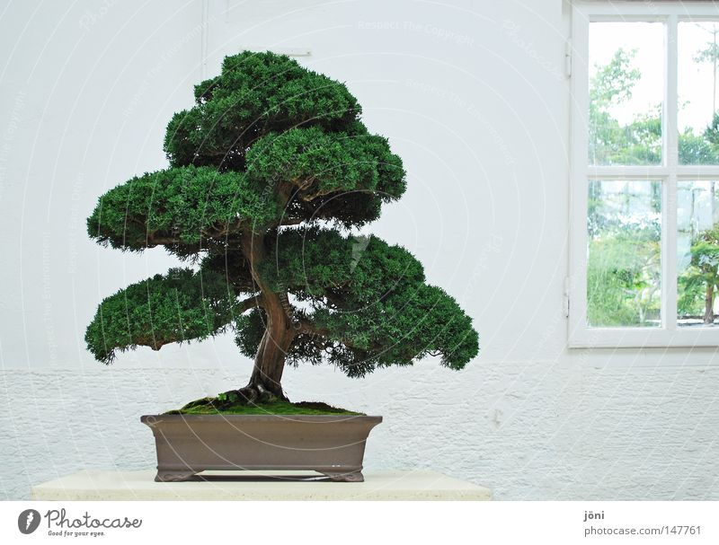 Bonsaiästhetik Natur alt weiß grün schön Baum Pflanze Freude Haus ruhig Erholung Fenster Leben Wand Holz Freiheit