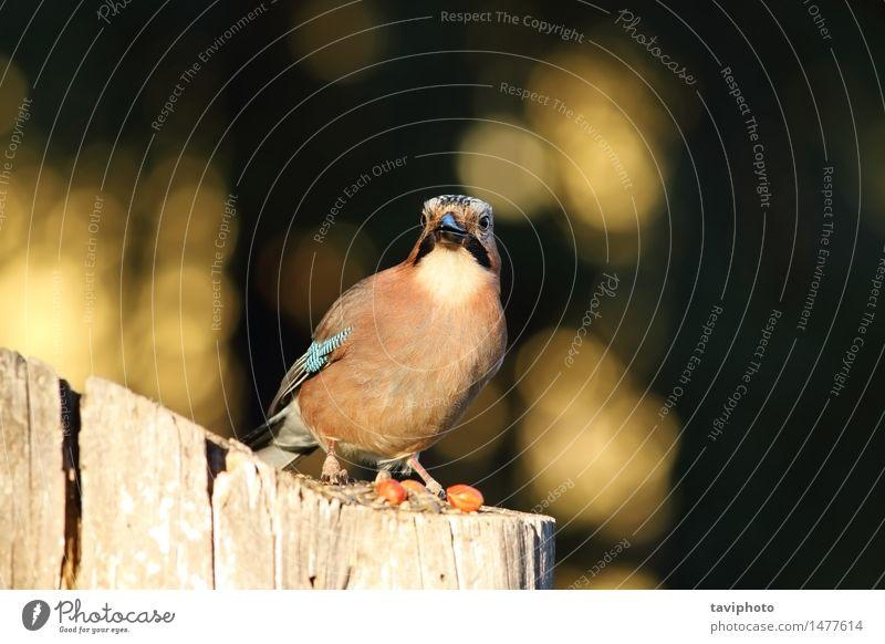 Europäischer allgemeiner Eichelhäher, der die Kamera betrachtet Natur schön Farbe Tier Wald Gesicht Umwelt braun Vogel Park wild stehen Feder Europa