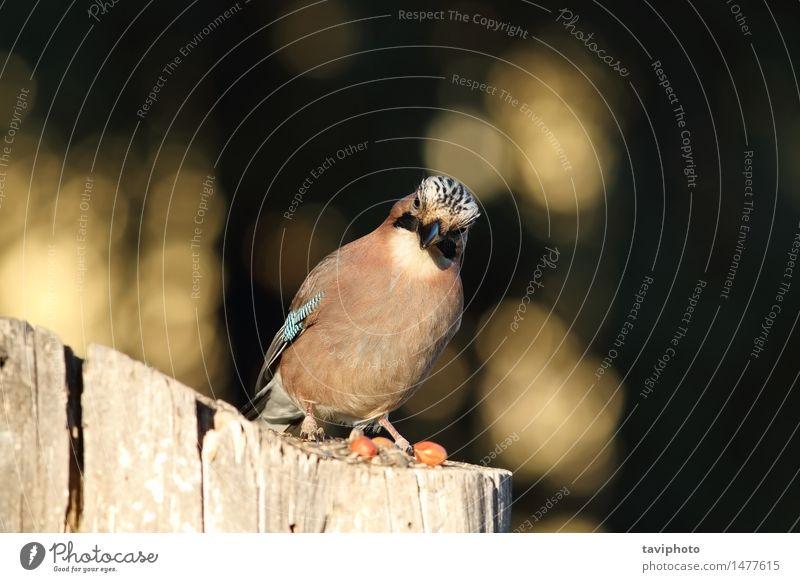 Europäischer Eichelhäher, der die Kamera betrachtet schön Fotokamera Umwelt Natur Tier Park Wald Vogel beobachten wild blau braun schwarz Farbe Garrulus
