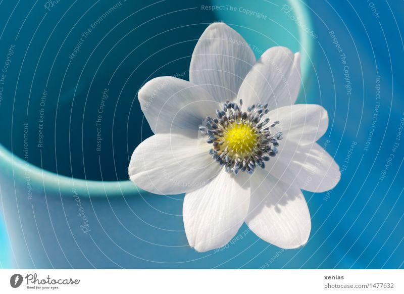 Kleines weisses Windröschen in blauer Vase Anemonen Wohnung Blume Blüte Hahnenfußgewächse gelb weiß schön Frühling Innenaufnahme Textfreiraum links