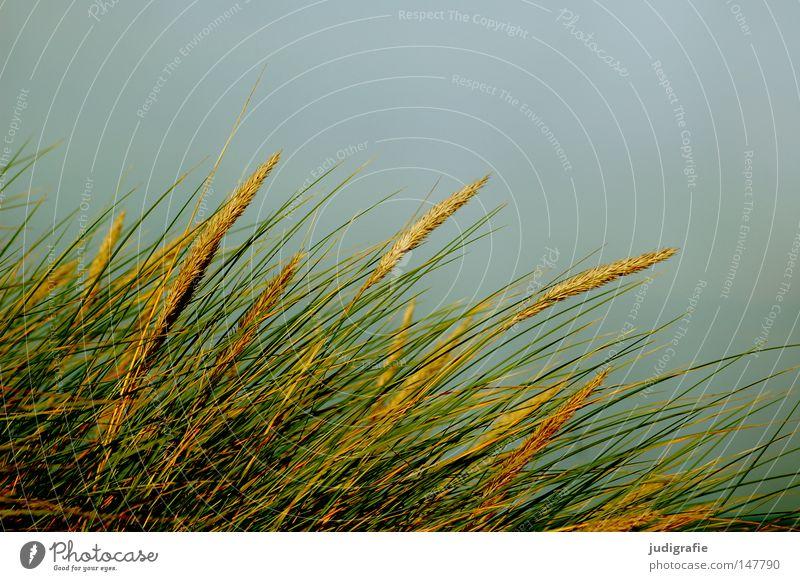 Gras Natur Himmel grün blau Strand gelb Farbe Linie Küste Wind Umwelt Wachstum Stranddüne Ostsee Dünengras