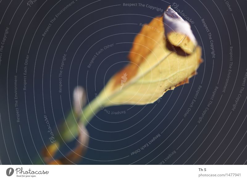 Blatt Natur Pflanze Herbst Winter Blühend verblüht ästhetisch authentisch einfach elegant natürlich blau braun gelb grün Gelassenheit geduldig ruhig einzigartig
