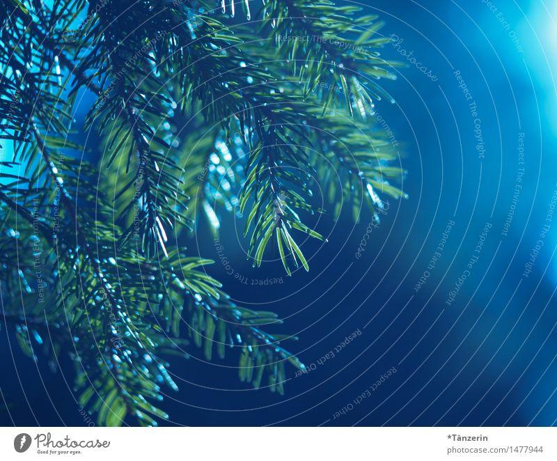Waldblick Natur Pflanze Frühling Sommer Herbst Baum Wildpflanze Tannenzweig ästhetisch natürlich positiv schön stachelig blau grün ruhig Farbfoto
