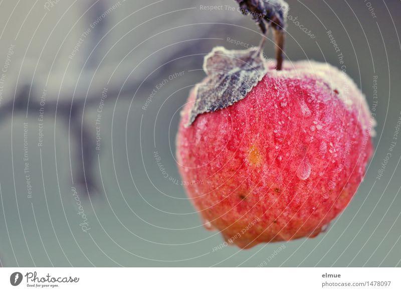 Apfel der Erkenntnis Winter Eis Frost Apfelbaum Paradies Dornröschen hängen Erotik nass natürlich rund saftig feminin Vorfreude Kraft Willensstärke träumen