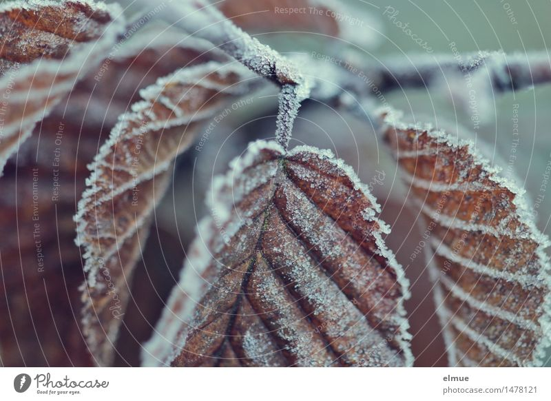 Grand Ouvert Eis Frost Buche Buchenblatt Hainbuche Skat Kreislauf Vergänglichkeit Blattadern frieren hängen kalt braun Mut Zusammensein diszipliniert Ausdauer