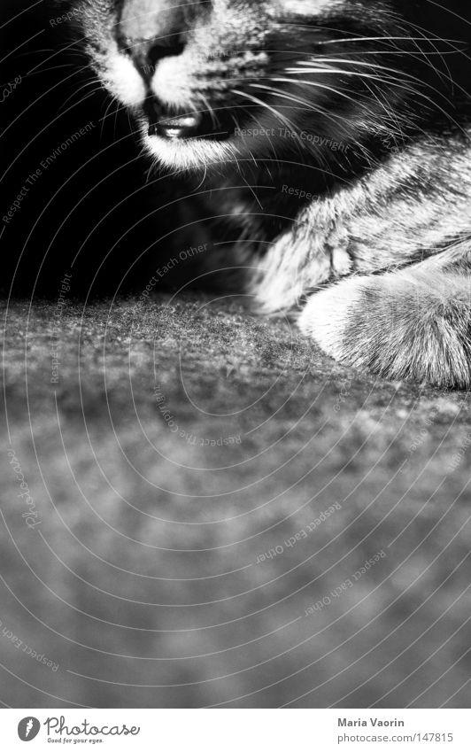 Der Winter kommt, der Schnupfen auch Katze Haustier Nase Schnauze Fell nah Detailaufnahme Physik Wohnzimmer Hauskatze Unschärfe süß klein Liebling verkatert