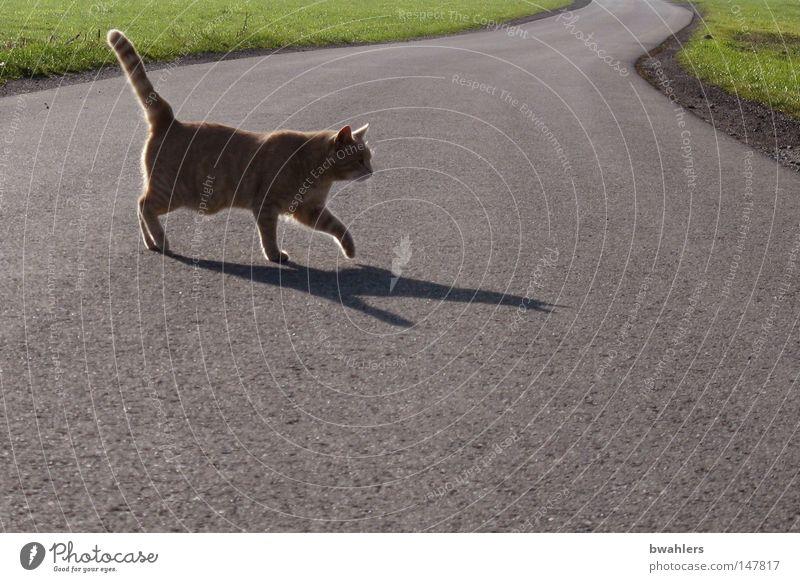 Kater kreuzt meinen Weg Katze ruhig Straße Wiese grau gehen laufen leer Spaziergang Verkehrswege Amerika Abenddämmerung Säugetier Stolz Hauskatze Landschaftsformen
