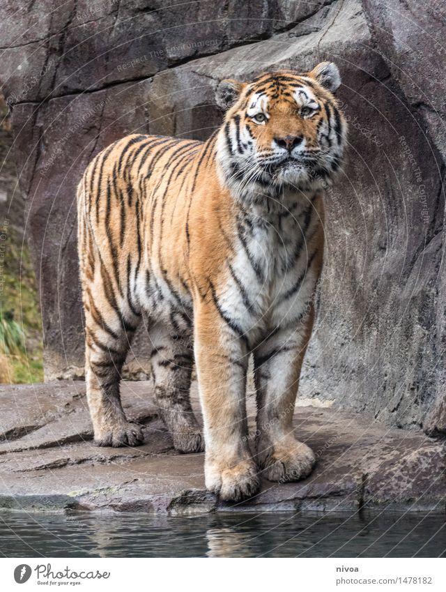 el tigre Natur Pflanze Wasser Tier See Stein braun Felsen orange Tourismus elegant Wildtier stehen groß Ausflug beobachten