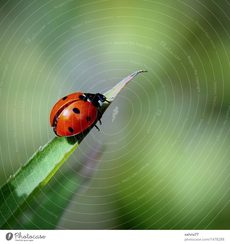 Start ins Glück? Umwelt Natur Pflanze Tier Frühling Sommer Blatt Käfer Flügel Siebenpunkt-Marienkäfer Insekt Glücksbringer 1 krabbeln klein oben grün rot