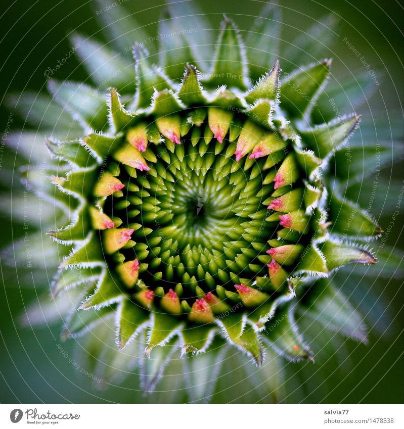 Entfaltung Natur Pflanze grün schön Sommer Blume Umwelt Blüte Frühling natürlich Garten Design Angst Wachstum ästhetisch Beginn