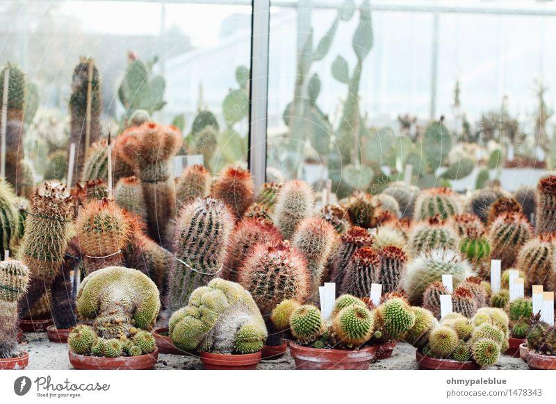 sukkulente Pflanze Kaktus Grünpflanze Topfpflanze exotisch Wüste kurzhaarig langhaarig Zopf einzigartig Leben Sucht Surrealismus Team Teamwork glashaus