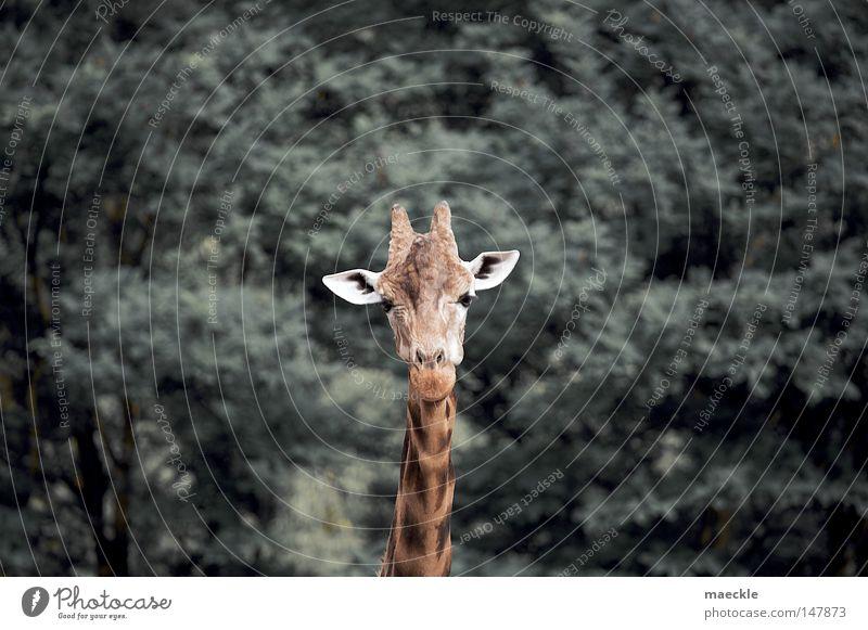 Giraffe Natur Tier Perspektive Afrika Neugier Säugetier exotisch Wildnis