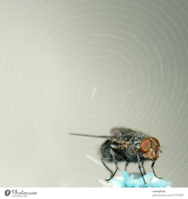 Billigflug-Gesellschaft ruhig Fliege sitzen Flügel Textfreiraum Pause Insekt obskur Schädlinge Rüssel Facettenauge