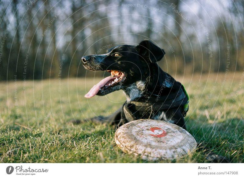 Frisbeemädle Hund Baum Freude Tier schwarz ruhig Wiese Feld Freizeit & Hobby dreckig lang Zunge Frisbee