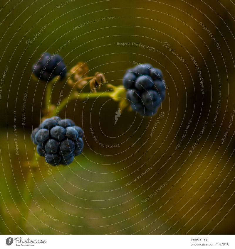 Brombeere Lebensmittel essbar Umwelt Pflanze Herbst Oktober September Quadrat Mittelformat Frucht Brombeeren Natur Beeren Bioprodukte