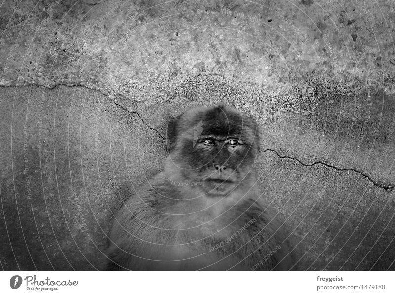 Cogito ergo sum Tier Tiergesicht beobachten Denken schwarz weiß Sehnsucht Leben Affen Berberaffen nachdenklich Mensch Schwarzweißfoto Außenaufnahme