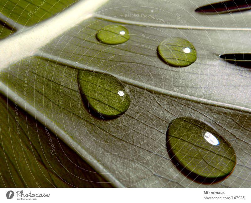 Herbst 2 Blatt Baum Pflanze Natur Grünpflanze Topfpflanze Gefäße Wassertropfen Blattadern nass Regen Tau feucht grün Makroaufnahme Nahaufnahme Detailaufnahme