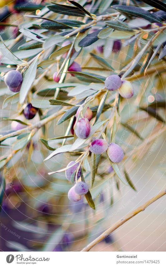 Oliven Umwelt Natur Winter Schönes Wetter Pflanze Baum Blatt Nutzpflanze Garten natürlich Bioprodukte Olivenbaum Olivenhain Olivenblatt reif Frucht Olivenzweig