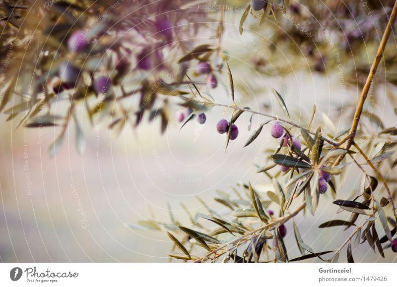 Oliven, Oliven Natur Pflanze grün Baum Blatt Winter Umwelt natürlich Garten Frucht Schönes Wetter Landwirtschaft violett Bioprodukte reif Nutzpflanze