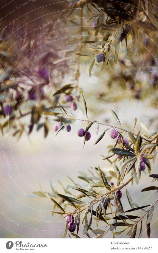 Bei der Olivenernte Natur Pflanze grün Baum Blatt Winter Umwelt natürlich Garten Frucht Schönes Wetter Landwirtschaft violett Bioprodukte reif Nutzpflanze
