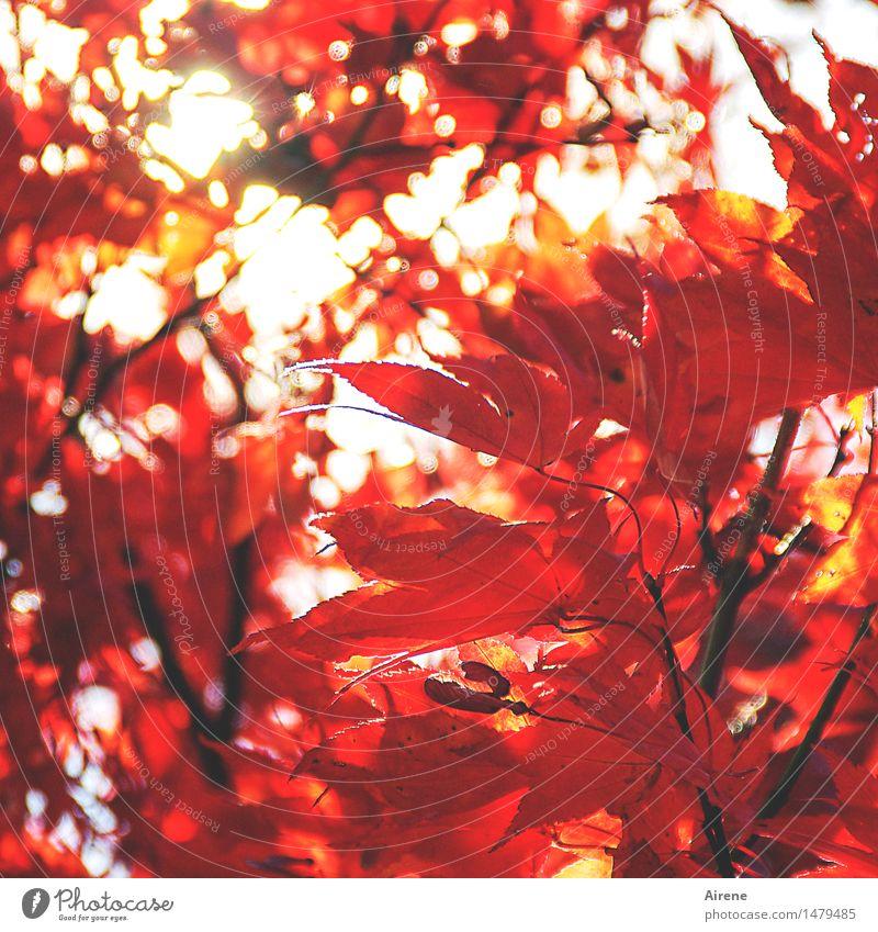 Sonnenbrand Herbst Pflanze Baum Blatt exotisch Ahornblatt elegant rot Euphorie Energie Warnfarbe intensiv neonfarbig glühend hitzig brennen Farbfoto