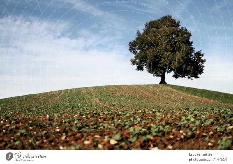 Traumbaum V Herbst Baum Wolken Hügel Wiese Gras Wind Natur Spaziergang Schweiz Jahreszeiten Himmel Ast Ferne Laubbaum Baumstamm Umwelt Rasen Weide grün