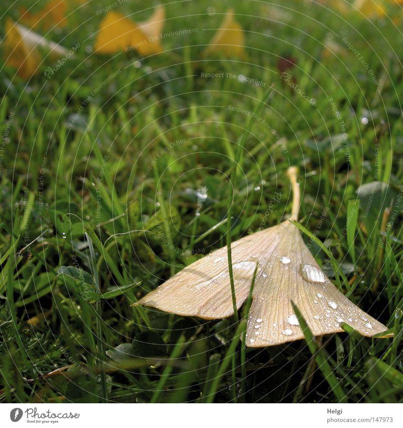 herbstlich gefärbtes braunes Ginkgoblatt mit Regentropfen liegt auf einer grünen Wiese Blatt Herbst Oktober November Gras Rasen Halm Wassertropfen hydrophob