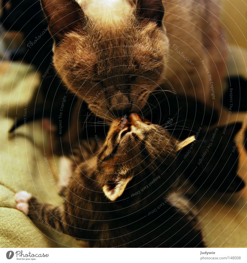 Katzenliebe Liebe klein Kindheit süß niedlich Ohr Fell Freundlichkeit Vertrauen Küssen Pfote Säugetier Thailand Hauskatze lutschen