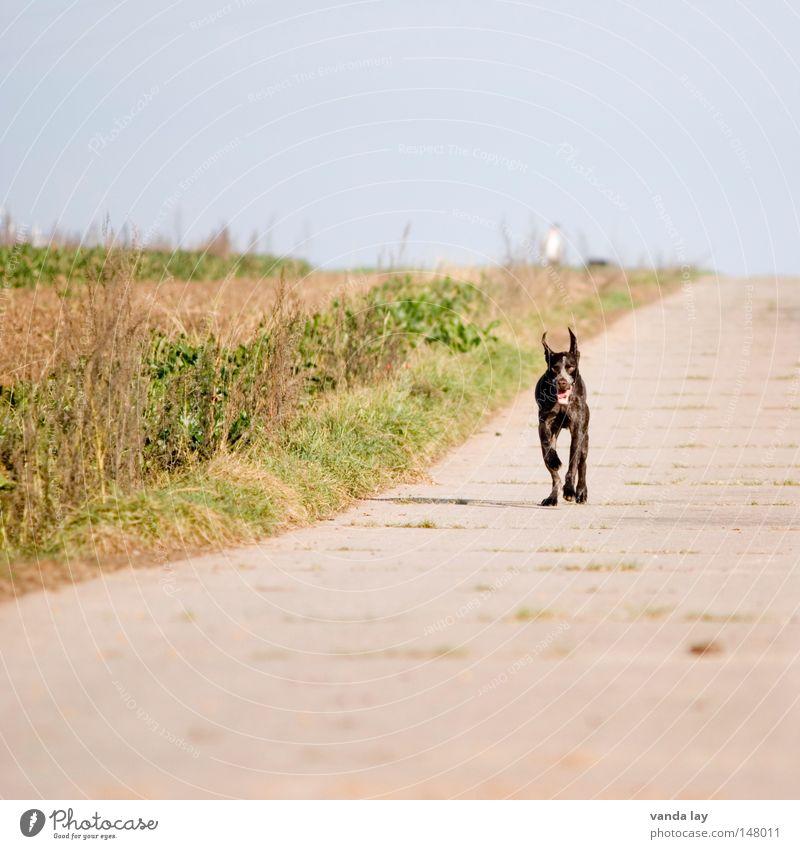 Endspurt Himmel Natur Tier Wiese Herbst Freiheit Hund Wege & Pfade hell braun Feld Beton Seil rennen frei Geschwindigkeit