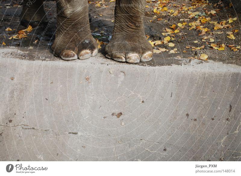 Hart am Rand Elefant Zoo Tiergarten Tierpark Hagenbeck Macht Am Rand Beton Gehege Herbst Blatt Außenaufnahme Säugetier Deutschland Elefantenbeine Fuß