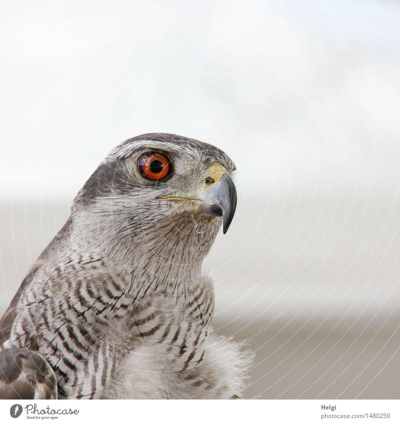 Ausschau halten... Umwelt Natur Tier Wildtier Vogel Tiergesicht Habichte 1 beobachten Blick schön einzigartig natürlich braun grau weiß Zufriedenheit achtsam