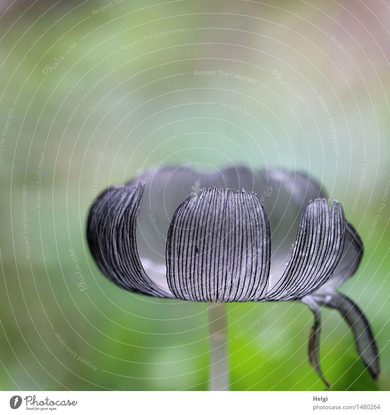 Pilzkopf Umwelt Natur Pflanze Herbst Pilzhut Wiese stehen Wachstum ästhetisch authentisch außergewöhnlich einzigartig klein natürlich grau grün Leben